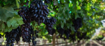 San Miguel starts a new grape season begins with prospects for growth in exports of premium varieties
