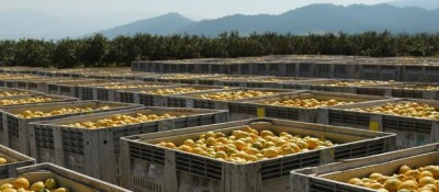 San Miguel made the first Argentinian lemons export to Mexico