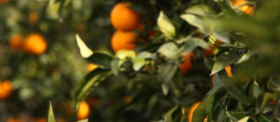 US may allow South African citrus from areas infested with black spot