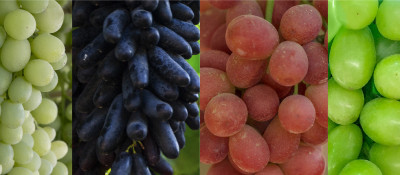 Our grapes: from Peru to the World