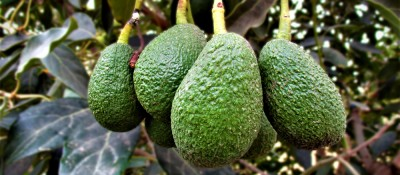 San Miguel begins exporting Hass avocado for the first time in its history