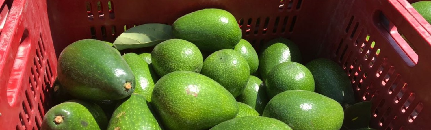 Avocado: a new product, a new challenge